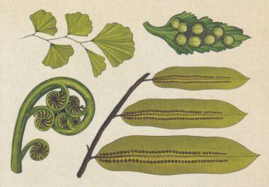 Ferns 2 Scientific Botanical Illustration Postcard