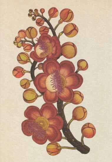 Scientific Botanical Illustration Postcard of Cannonball Tree