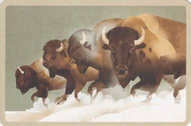 Bison Illustration Postcard