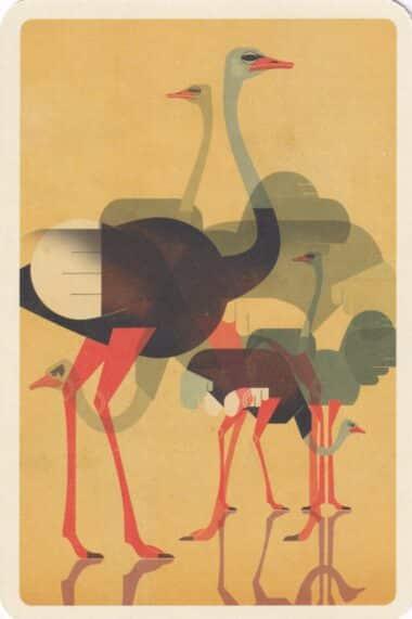 Ostriches Animal Postcard