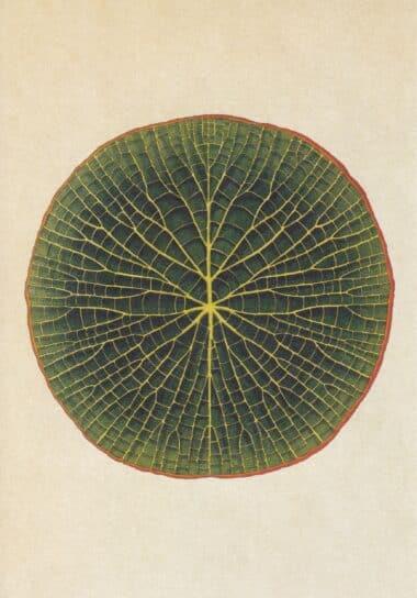 Scientific Botanical Illustration Postcard of Lily Pad