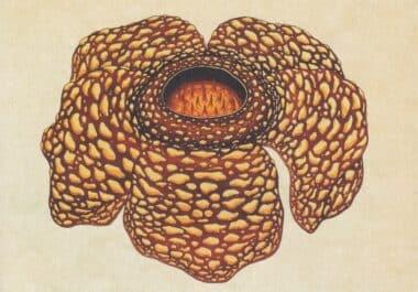 Scientific Botanical Illustration Postcard of Parasitic Flower