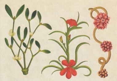 Scientific Botanical Illustration Postcard of Parasitic Plants
