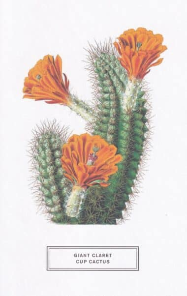 Giant Claret Cup Cactus Botanical Illustration Postcard