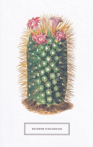 Rainbow Pincushion Botanical Illustration Postcard
