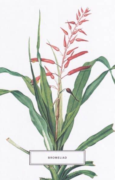 Bromeliad Botanical Illustration Postcard