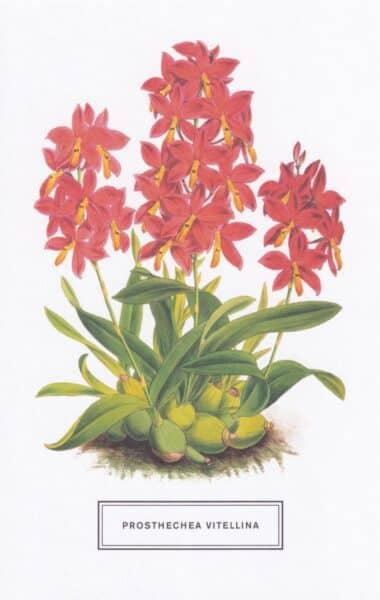 Prosthechea Vitellina Botanical Illustration Postcard