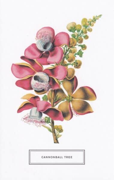 Cannonball Tree Botanical Illustration Postcard