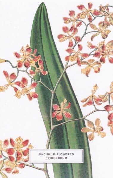 Oncidium-Flowered Epidendrum Botanical Illustration Postcard