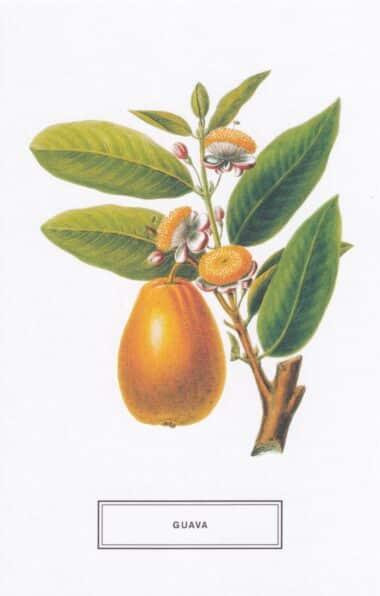 Guava Fruit Botanical Illustration Postcard