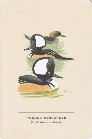 Hooded Merganser Sibley Bird Postcard