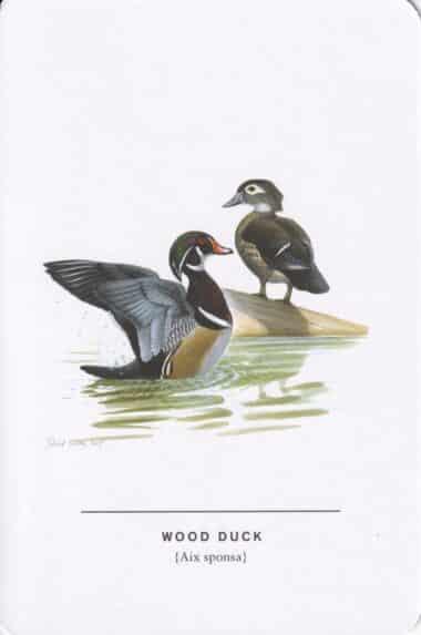 Wood Duck Sibley Bird Postcard