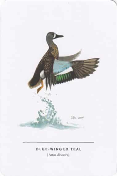 Blue-Winged Teal Sibley Bird Postcard