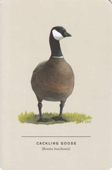 Cackling Goose Sibley Bird Postcard
