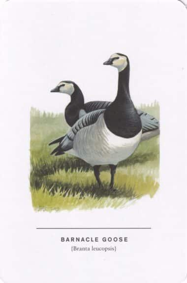 Barnacle Goose Sibley Bird Postcard