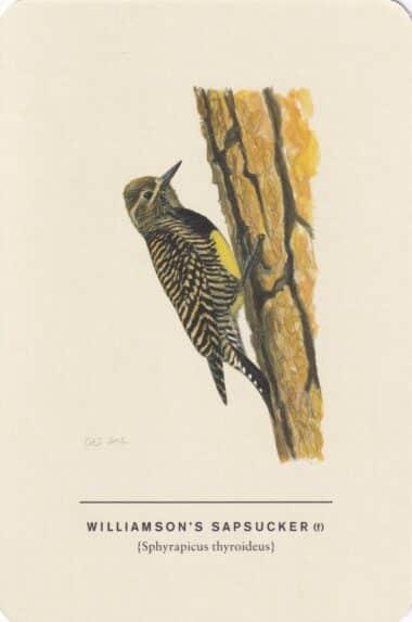 Williamson's Sapsucker (Female) Sibley Bird Postcard