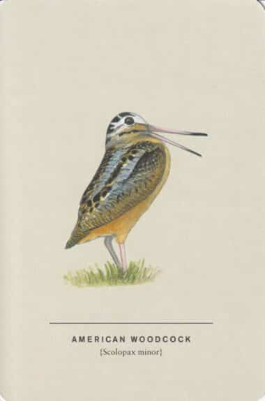 American Woodcock Sibley Bird Postcard