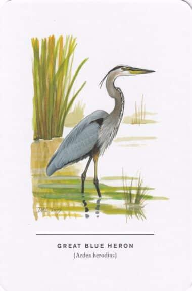 Great Blue Heron Sibley Bird Postcard