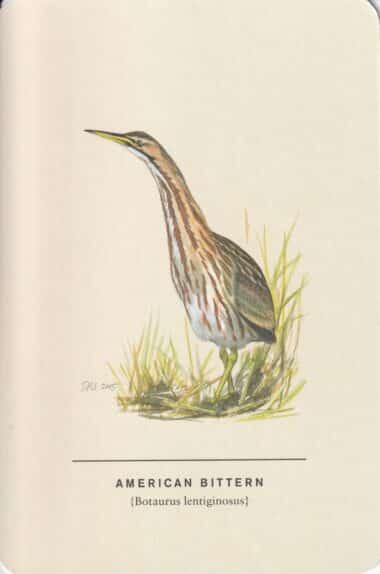 American Bittern Sibley Bird Postcard