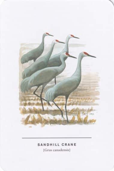 Sandhill Crane Sibley Bird Postcard
