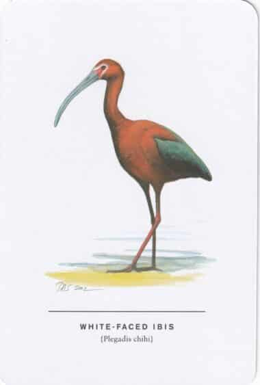 White-Faced Ibis Sibley Bird Postcard