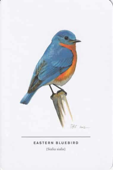 Eastern Bluebird Sibley Bird Postcard