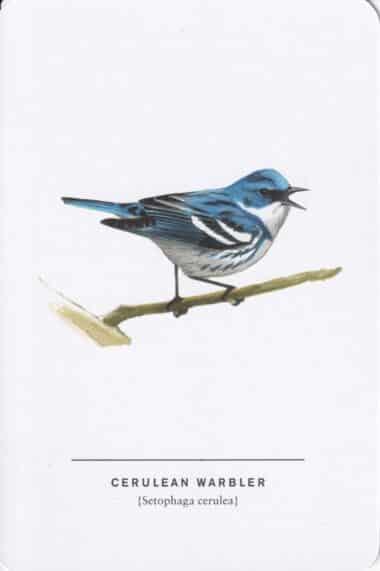 Cerulean Warbler Sibley Bird Postcard