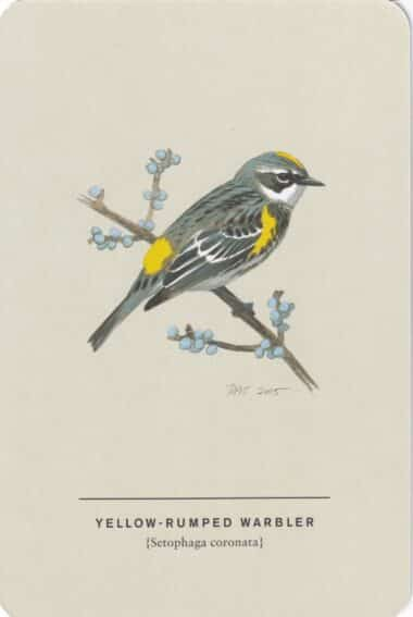 Yellow-Rumped Warbler Sibley Bird Postcard