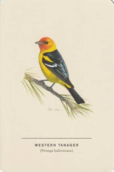 Western Tanager Sibley Bird Postcard
