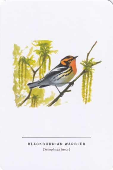 Blackburnian Warbler Sibley Bird Postcard