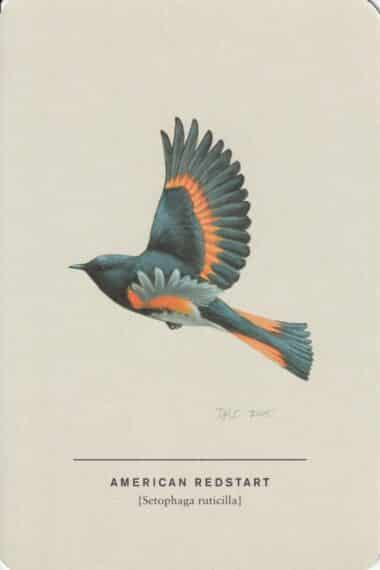 American Redsteart Sibley Bird Postcard