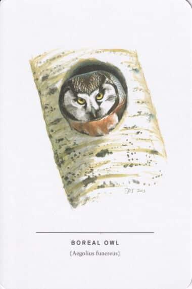 Boreal Owl Sibley Bird Postcard