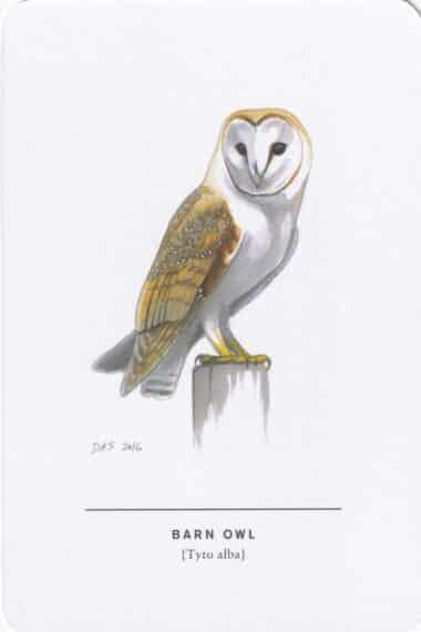 Barn Owl Sibley Bird Postcard