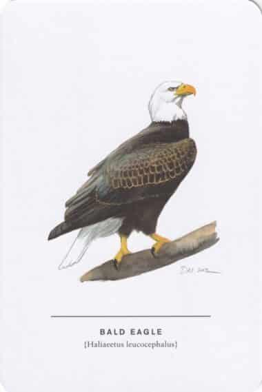 Bald Eagle Sibley Bird Postcard