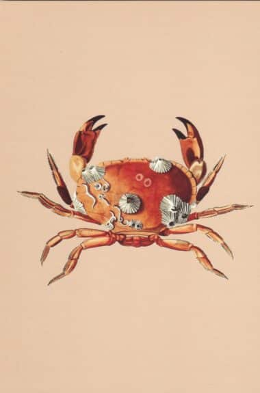 Crab with Barnacles Postcard