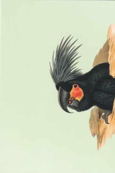 Black Palm Cockatoo Postcard